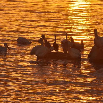 Pelicanos Xpicob