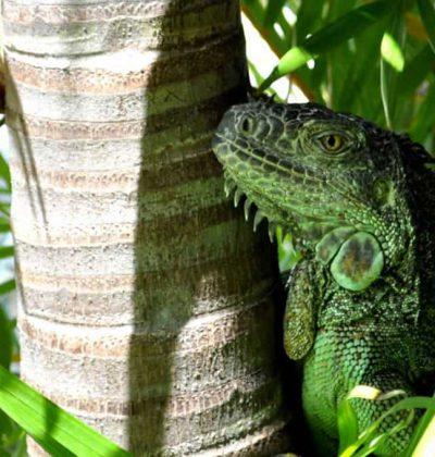 Iguana-Xpicob